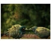 Love Birds Photography Download, Blackbirds, Black Birds, Pair of BIrds, Gift for bird lovers, Birds in love, Textured Photo Art