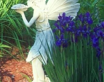 Purple Siberian Iris bulbs