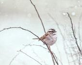 bird sparrow white-throated animal cute sweet fine art  print  8x10 - White-Throated Sparrow