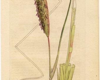 1796 antique BOTANICAL print, Sea Reed or Marran (Arundo arenaris )