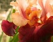 Iris Flower Photography - Creamsicle Cinnamon over Dusky Ruby-Red Velvet Iris Blossom - giclee photograph 8x10 burgundy peach salmon