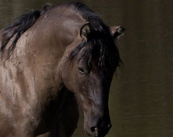 Stallion at the Waterhole - Fine Art Wild Horse Photograph - Wild Horse - Pryor Mountains