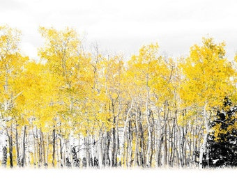 Aspen tree fall photo, pine tree wall art, Colorado art, fall decor, log cabin art, aspen trees snow photo, Colorado landscape photography