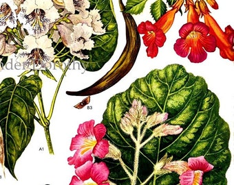 Catalpa Bean Tree Trumpet Creeper Unicorn Plant Wildflower North America Botanical Exotica Vintage Illustration To Frame 162