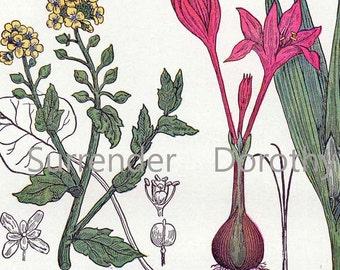 Garlic Horseradish Meadow Saffron Scurvy Grass 1907 Healing Medicinal Plant Vintage Botanical Lithograph To Frame VII
