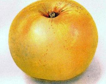 Patten Apples 1908 USDA Fruit Botanical Lithograph Edwardian Era Agriculture Print To Frame