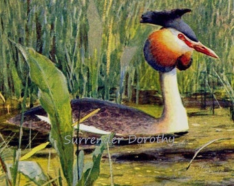 Great Crested Grebe Water Bird USA Europe Edwardian Natural History Lithograph Illustration Germany To Frame
