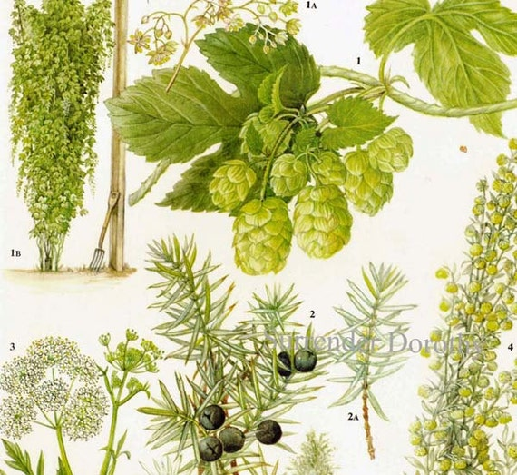 Hops Juniper Anise Wormwood Flower Food Plant Food Chart Botanical Lithograph Illustration For Your Vintage Kitchen 137