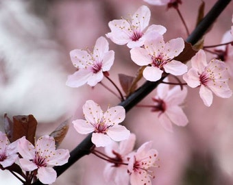 Photography - Joyful - 8x10 Nature Photograph - Floral Print - Pink Cherry Blossoms - IN STOCK