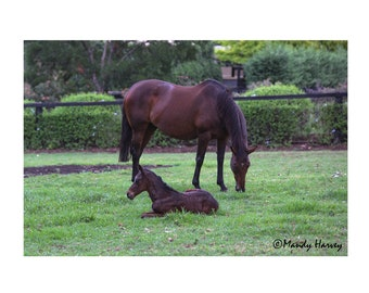 Resting Foal With Mare, After The Rains, Close Up, Nature Photograph, Baby Animals, Nursery Picture, 9X6 Photograph, Home Decor