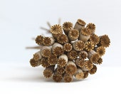 Dried Poppy Pods organic home grown woodland natural fall decor rustic brown, rust, cream