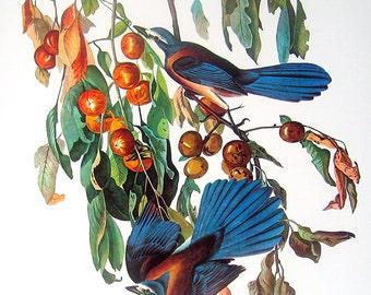 Florida Scrub Jay 1987 Vintage Audubon Bird Print Book Plate