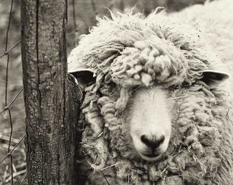 Sheep Photography, Black and White Print, Monochromatic art, animal photography, nature print, wall art, nature photograph