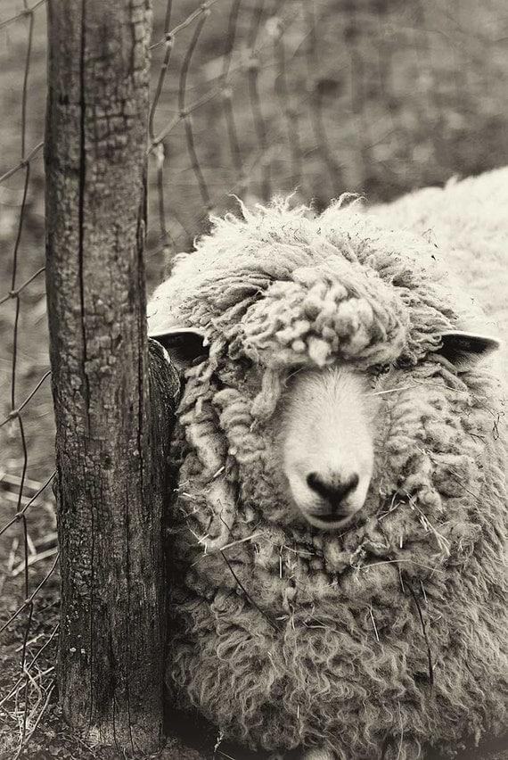 Sheep Photography, Black and White Print, Monochromatic art for kitchen, Nursery Print, Animal Photograph, nature print, laundry room art