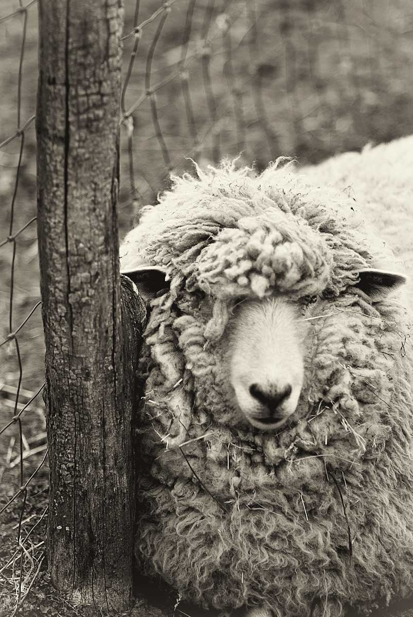 Immortal Unity Sheep Photography Black And White Print