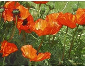 Proud Poppies  (Watercolor Print - 12x16 - Canada - Lake Louise - Banff National Park - Fine Art Print - Wall Art)