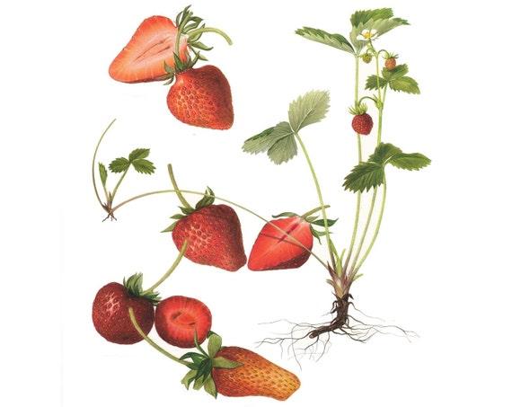 Vintage Print  - Strawberries  - Book Plate  - 1965