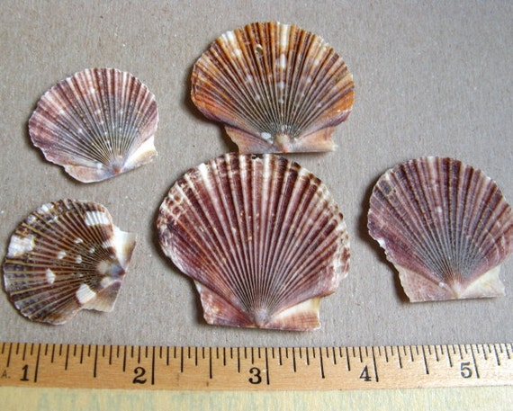 Items similar to scallop shells 100 1 to 1 1 2 add to - Scallop shells for crafts ...