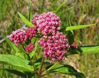 Asclepias Incarnata Seeds - Native Perennial - Rose Milkweed