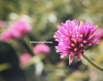 Blooming, Pink, Allium, Phipps Conservatory, Pittsburgh, PA, Fine Art, Photography, Print, Glossy, OOAK