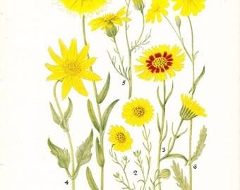 1927 Flower Print - Aster Family - Vintage Antique Home Decor Botany Plant Art Illustration for Framing