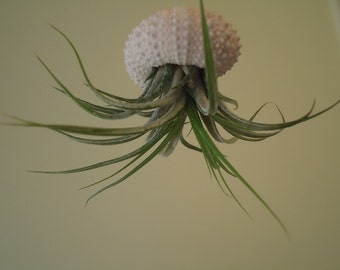 GIFT BOXED, Tiny Tillandsia Air Plant Hanging Sea Urchin, Sea Shell Living Ornament