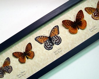 5 Meadow Wanderer Collection Speyeria Fritillary Real Framed Butterflies 8099