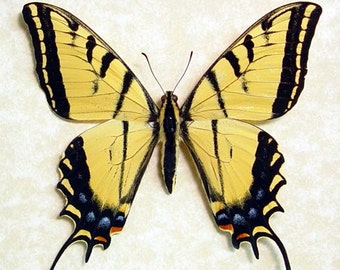 Real Framed Arizona Papilio Multicaudata Giant two Tailed Swallowtail Butterfly 8081