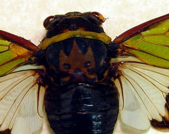 Real Alien Head Cicada Conservation Display 2111