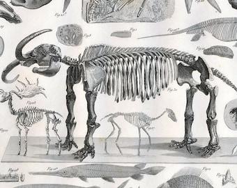 1851 Antique Steel Engraving of Fossils. Arachnids, Irish Elk, Human. Plate 41