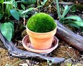 Large Mood moss for a 6-7 inch terra Cotta pot-Terrarium Moss-Live Moss