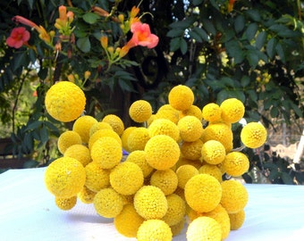 25 craspedia-dried naturally-Long stem-Craspedia-Billy Balls-Billy Buttons-Dried Yellow Wedding Flowers-Bundle of 25