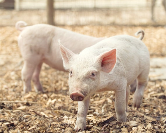 Piglet Barnyard Photo - 8x10 Color or Black and White Farm Animal Photography Print - Pink Baby Pig Soft Nursery Decor