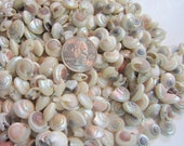 "Beach Decor Tiny Seashells - Coastal Nautical Decor Tiny Shells - Small Pearl Umbonium Shells - Beach Wedding Decor Sea Shells - 3x4"" Bag"