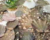 Nautical Decor Seashells - Flat Scallop Shells for Beach Decor or Crafts, 24pc