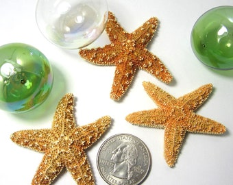 Beach Decor Starfish - Nautical Decor Brown Sugar Starfish - 2-3 inch, 6pc