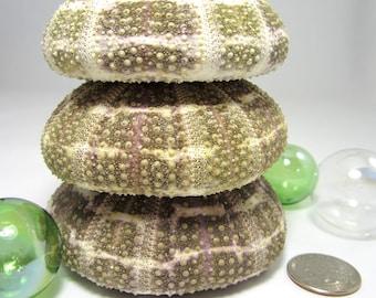 "Beach Decor Sea Urchin Shell  - Nautical Decor  Alfonso Sea Urchin Seashell,  2.5-3.5"", 1pc"