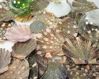 Nautical Decor Seashells - Beach Decor Flat Scallop Shells - Scallop Sea Shells - Pectin Shells - Beach Wedding Shells - Coastal Decor 24pc