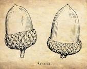 "Antique Botanical Print ""The Acorn"" Oak Forest Woodland Illustration - Sepia Vintage Print"