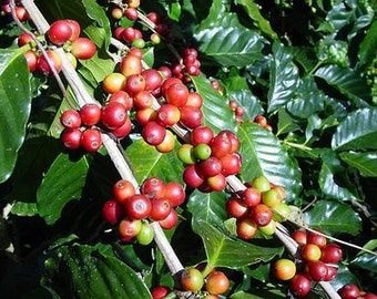 20 coffee seeds from Hilo Hawaii, coffea arabica, home grown in our yard