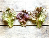 Red Sails Lettuce, organic seeds, heirloom seeds, vegetable garden, organic gardening, vegetable seeds, gardener, lettuce seed, seed packets