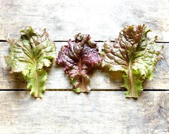 Red Sails Lettuce, organic heirloom seeds, from our farm, vegetable garden, organic gardening, spring planting, gardener