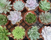 6 Large Succulents From 4 Inch Pots, A Great Collection, Perfect For Wedding Decor, Dinner Party, Garden
