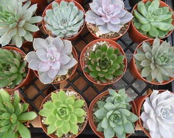 6 Large Succulents, Rosettes, From 4 Inch Pots, A Great Collection, Perfect For Wedding Decor, Dinner Party, Garden, Vertical Living Wall