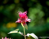 Bee Balm Photo Insert Note Card, herb, red, pink, green