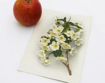 Vintage Botanical Print - Apple Blossom