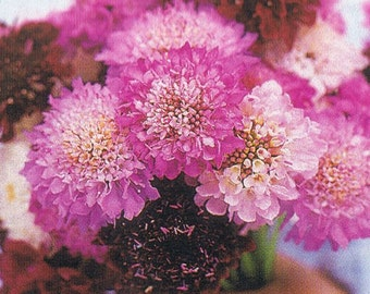Scabiosa, Organic Giant Imperial Scabiosa Seeds - Old Fashioned and Unusual Flowers for a Cutting Garden
