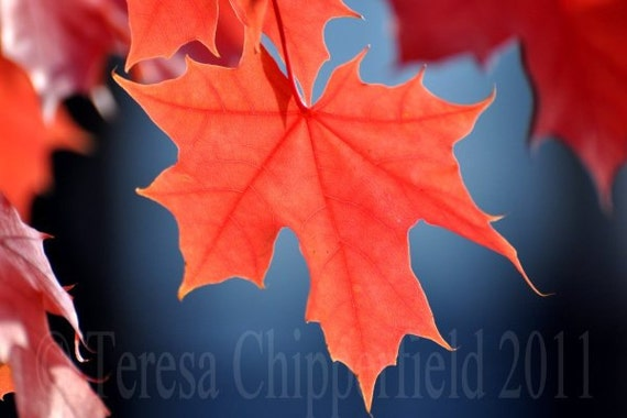 Vibrant Fall Leaves, Countryside Picture, Art Photo Print, Autumn Home Decor, Orange Leaf, Blue Sky, Nature Home Decor, 8x12,12x18,16x24