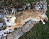Strawberry Red Blonde Coyote Soft Mount Taxidermy