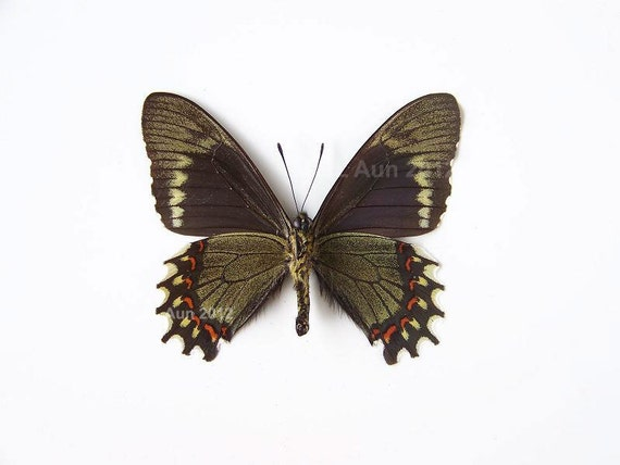 Real Butterfly Specimen Unmounted Ready Spread, Philetas Swallowtail